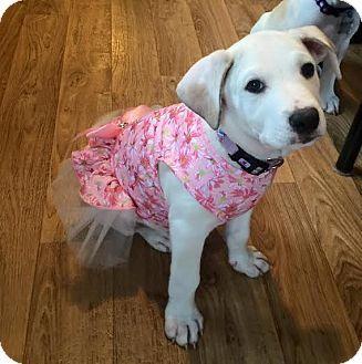 Detroit Mi Labrador Retriever American Bulldog Mix Meet Rosie Riveter A Puppy For Adoption Http Puppy Adoption Labrador Retriever American Bulldog Mix