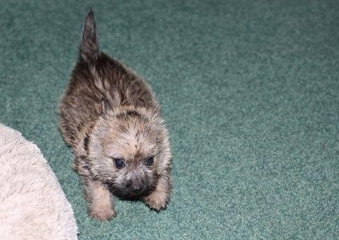 Tiggy Cairn Terrier Pdd 2014 Update Cairn Terrier Terrier Doggy
