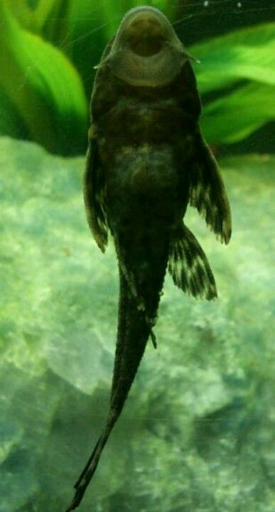 I have a pleco, he's great. But their sold as small, completely peaceful algae eaters. Mine is like 4 in. now and occasionally chases other fish away from his cave. He has lots of personality.