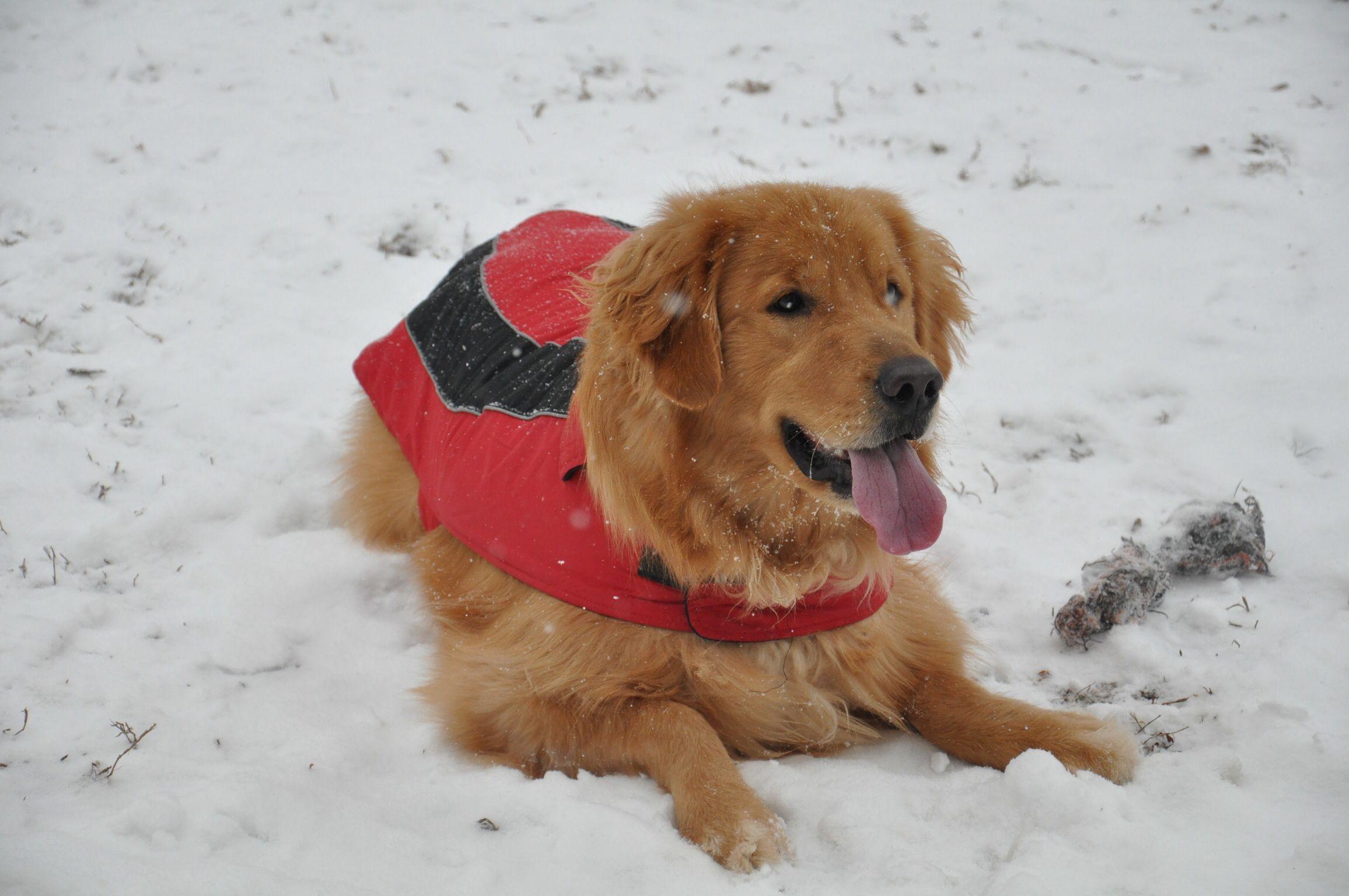Snow day Golden retriever, Animals, Retriever