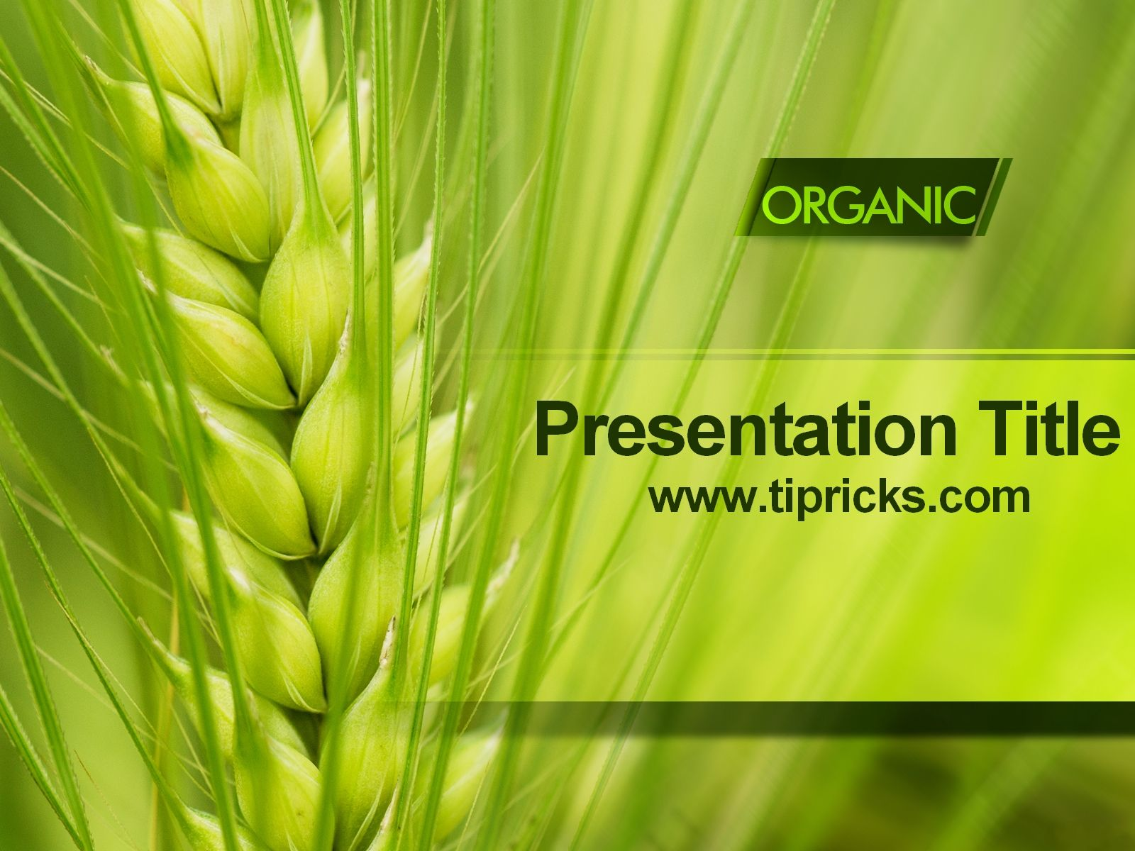 Organic Wheat PowerPoint Template | PowerPoint Templates in