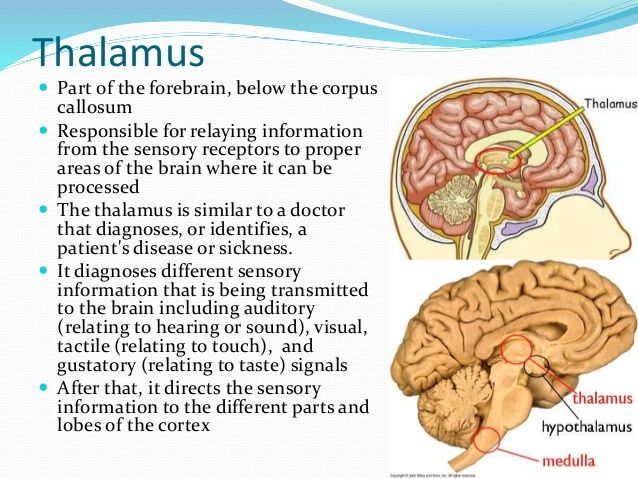 Thalamus Part Of The Forebrain Below The Corpus Callosum