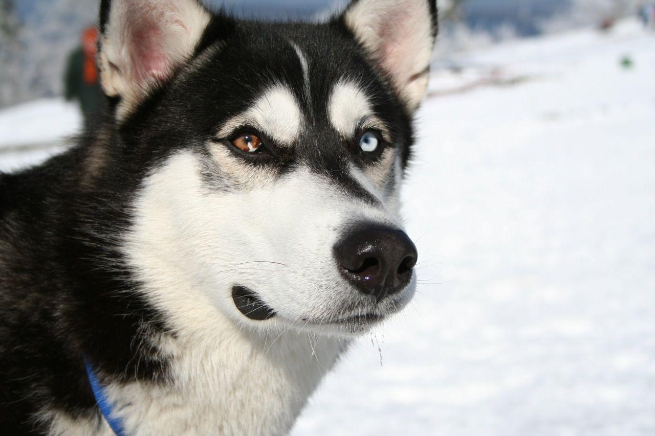Dogs 101 Siberian Husky Siberian Husky Dog Husky Dog Breeds