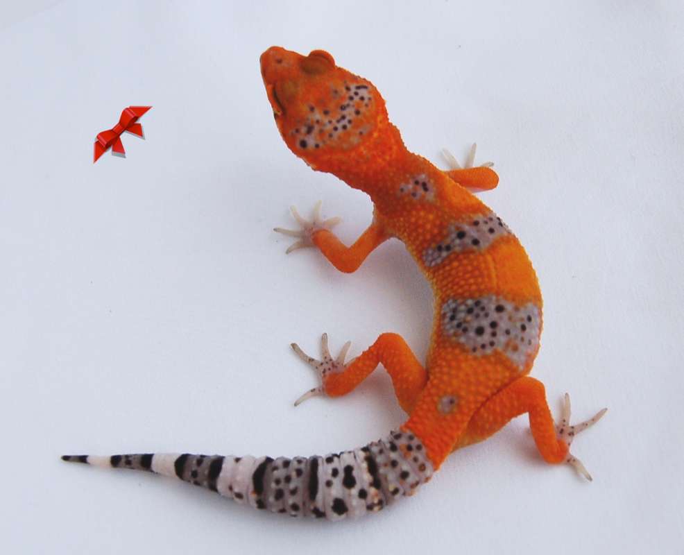 Bold and Bright Geckos is a California based Leopard Gecko