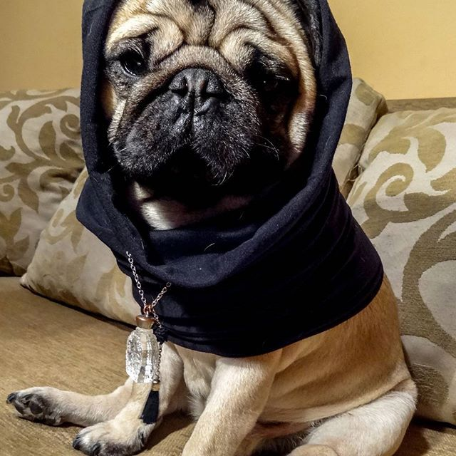 I put a spell on you   #mauricethepug #spell #magic #wizard #genieinabottle #iputaspellonyou #magicpug #music #musicaddict #pug #mops #dog #puppy