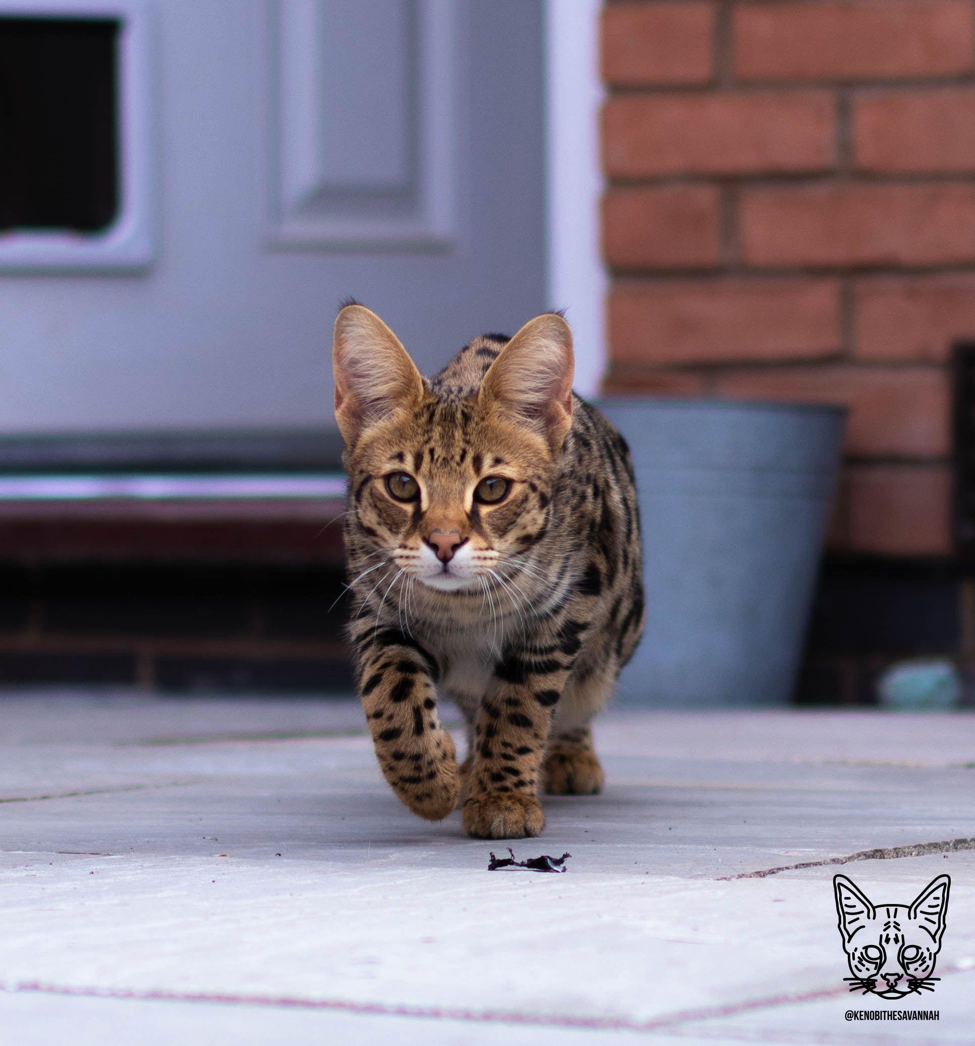 Kenobi The F1 Savannah Cat Savannah Savannahcat F1savannah