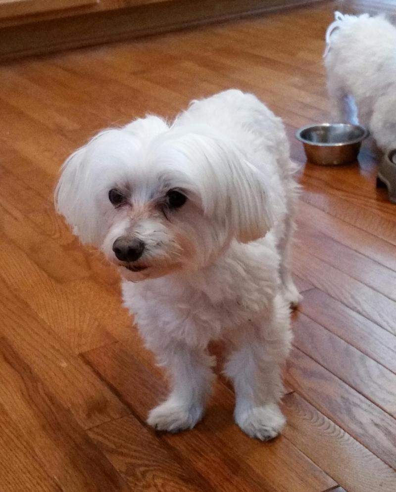 Adopt Meggie On Dogs Weimaraner Cute Animals