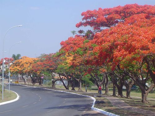 Known In The Philippines As The Fire Tree Delonix Regia