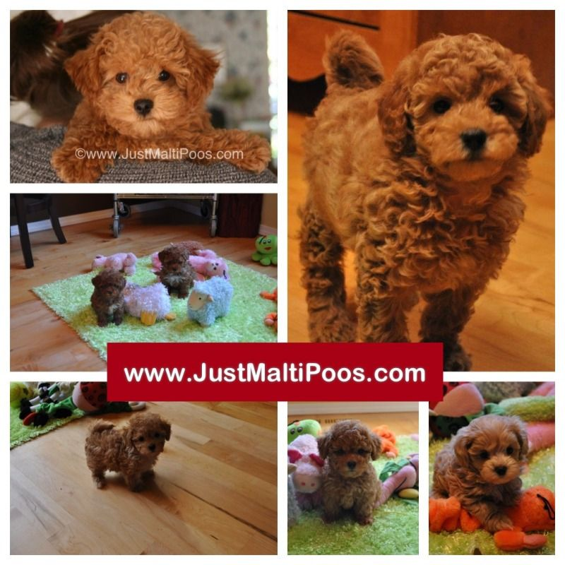 Puppies For Sale Maltipoos Maltepoos Or Multipoos In Portland