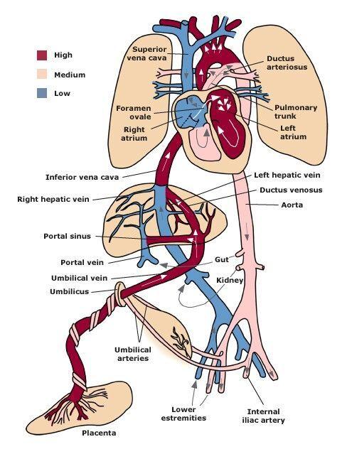 17 Best images about Fetal Circulation on Pinterest | Heart, Heart ...