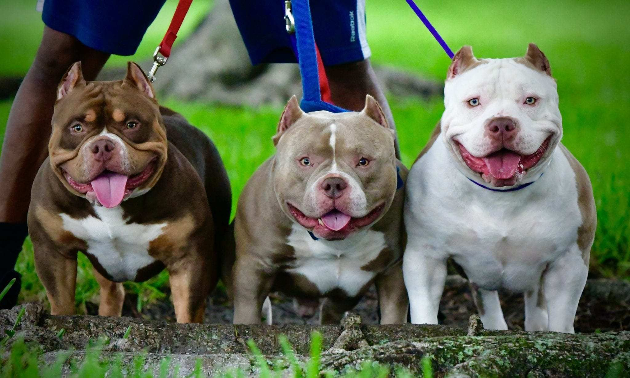Venomline Pocket American Bully Breeders July 2020 Venomline Top Pocket American Bully Breeders In 2020 American Bully Pocket Bully Bully Breeds