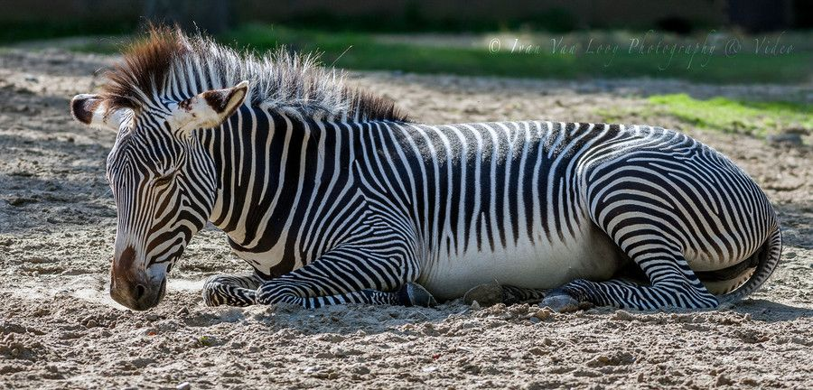Grévy Zebra by Ivan Van Looy on 500px