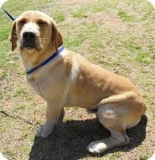 Image Result For Basset Retriever All Dog Breeds A Z Basset