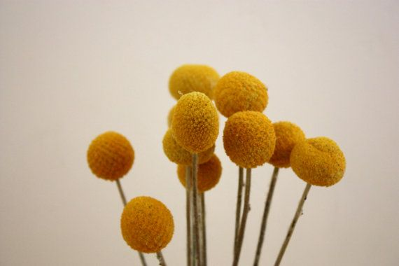 10 Dried Craspedia Stems By Fayemarie On Etsy Billy Buttons 10 Things Craspedia