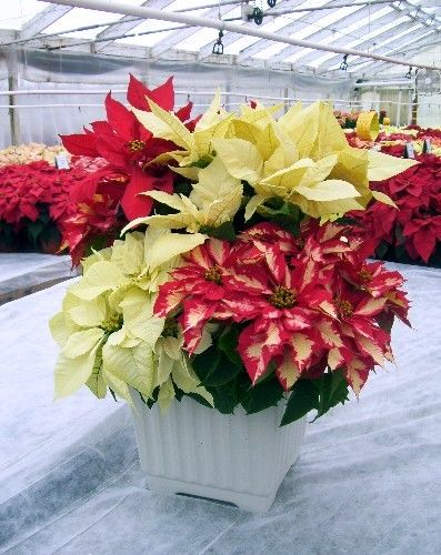 Classic And Modern Displays With Poinsettia Flowers Front Porch Christmas Decor Poinsettia Poinsettia Flower
