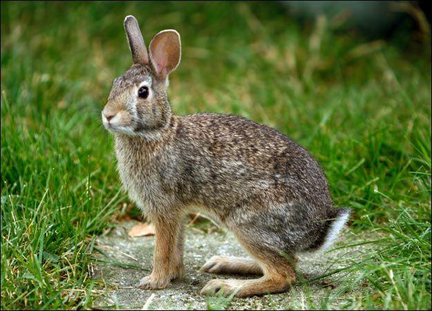 Wild rabbit diet
