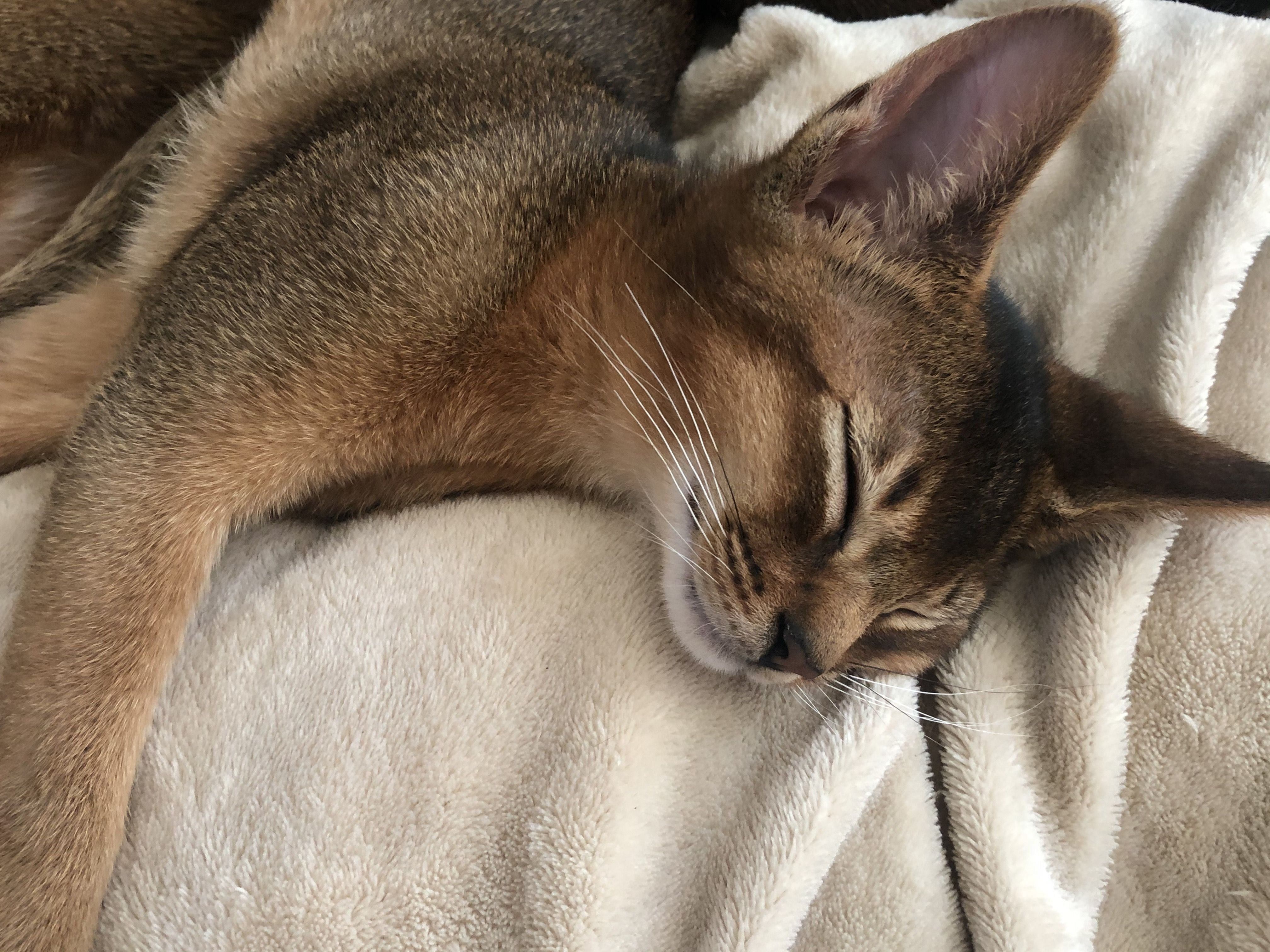 Pin By Cindy Kinsey On My Abyssinian Life In 2020 Abyssinian Cats Cat Sleeping Cats And Kittens