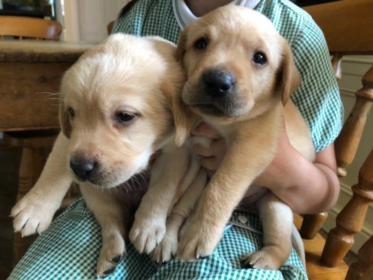1 Yellow Handsome Puppy Dog Labrador For Sale Retford Nottinghamshire Pets4homes Labrador For Sale Dogs Pets