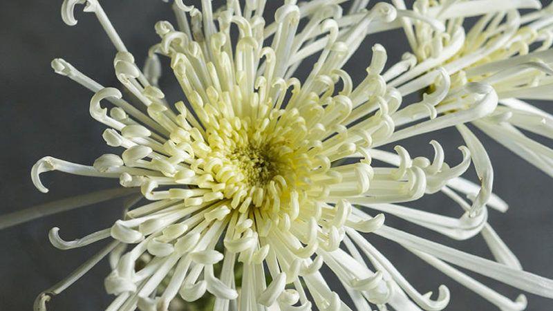 Chrysanthemum Elegant Symbolic Flowers For Autumn Bouquets Sunset Chrysanthemum Fall Bouquets Flowers