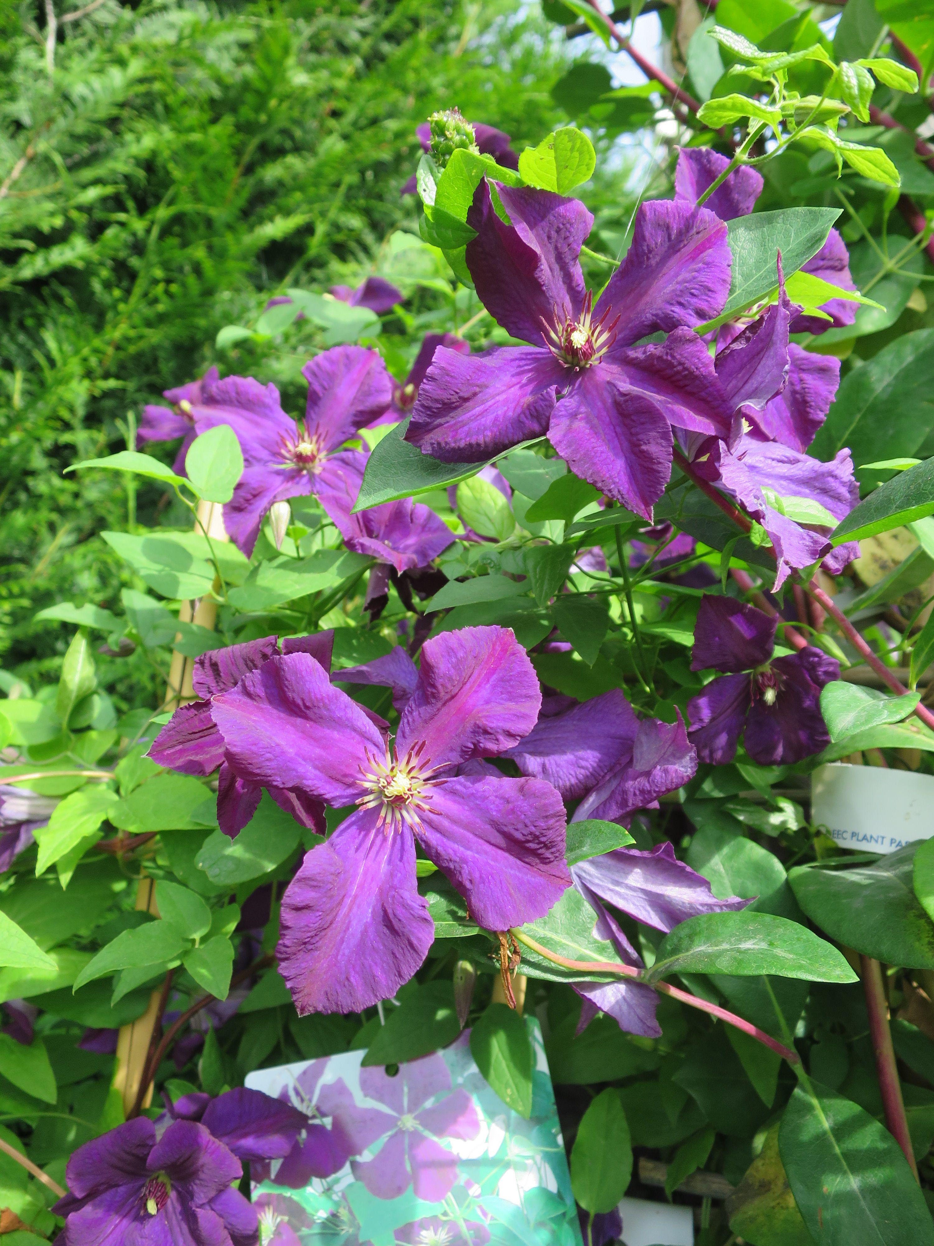 Clematis Etoille Violette Clematis Plants Garden