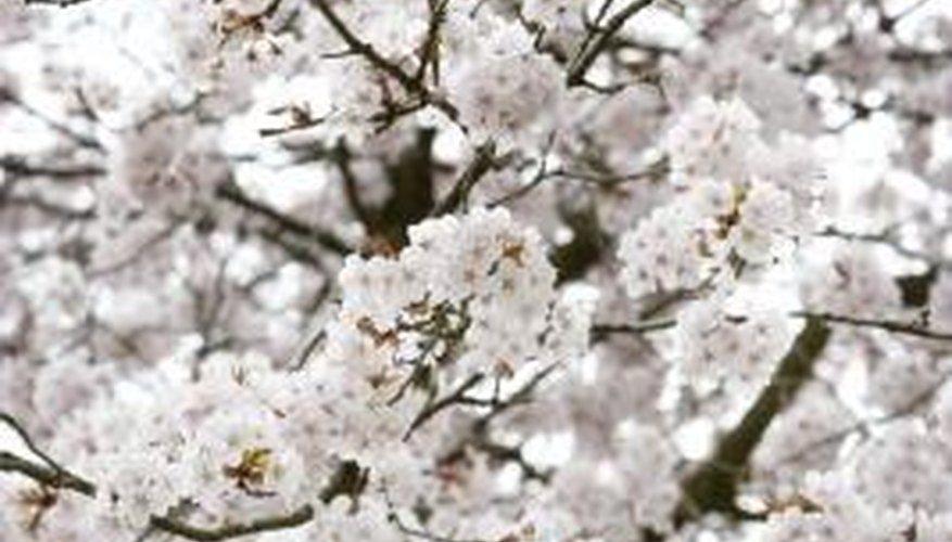 How To Grow Stella Cherry Trees Growing Cherry Trees Cherry Tree White Blossom Tree