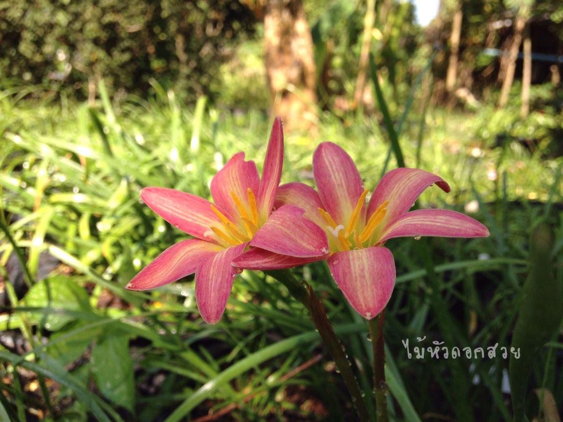 #บัวดิน #บัวดินที่ไม้หัวดอกสวย #บัวดินที่บ้าน #ไม้หัวดอกสวย #rainlily #lily #flowers #rainlilyphoto #beautyfull #photographer #photo #graden #rainlilyshop