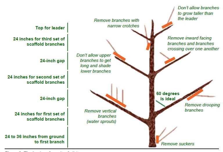 Image Result For Pruning Carmine Jewel Dwarf Cherry Tree Dwarf Cherry Tree Apple Tree Prune