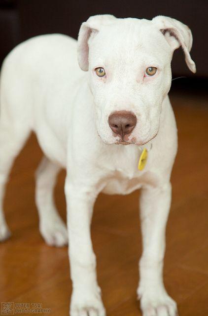 Tofu the Dog Deaf White Pitbull Mix White pitbull