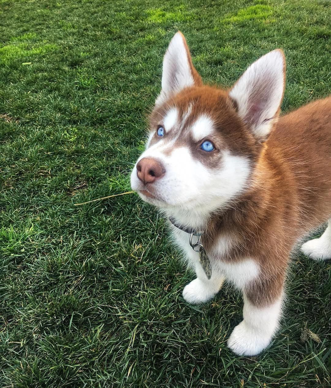Husky Huskies Huskypuppies Red Husky Puppies Husky Dogs Husky Puppy