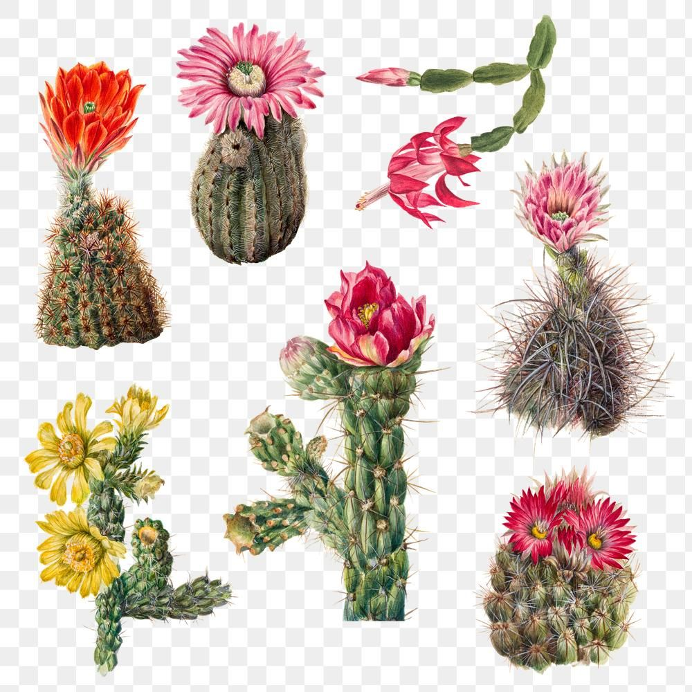Vintage Cactus Flowers Png Illustration Botanical Drawing Set Premium Image By Rawpixel Com Katie Vintage Cactus Flower Illustration Botanical Drawings
