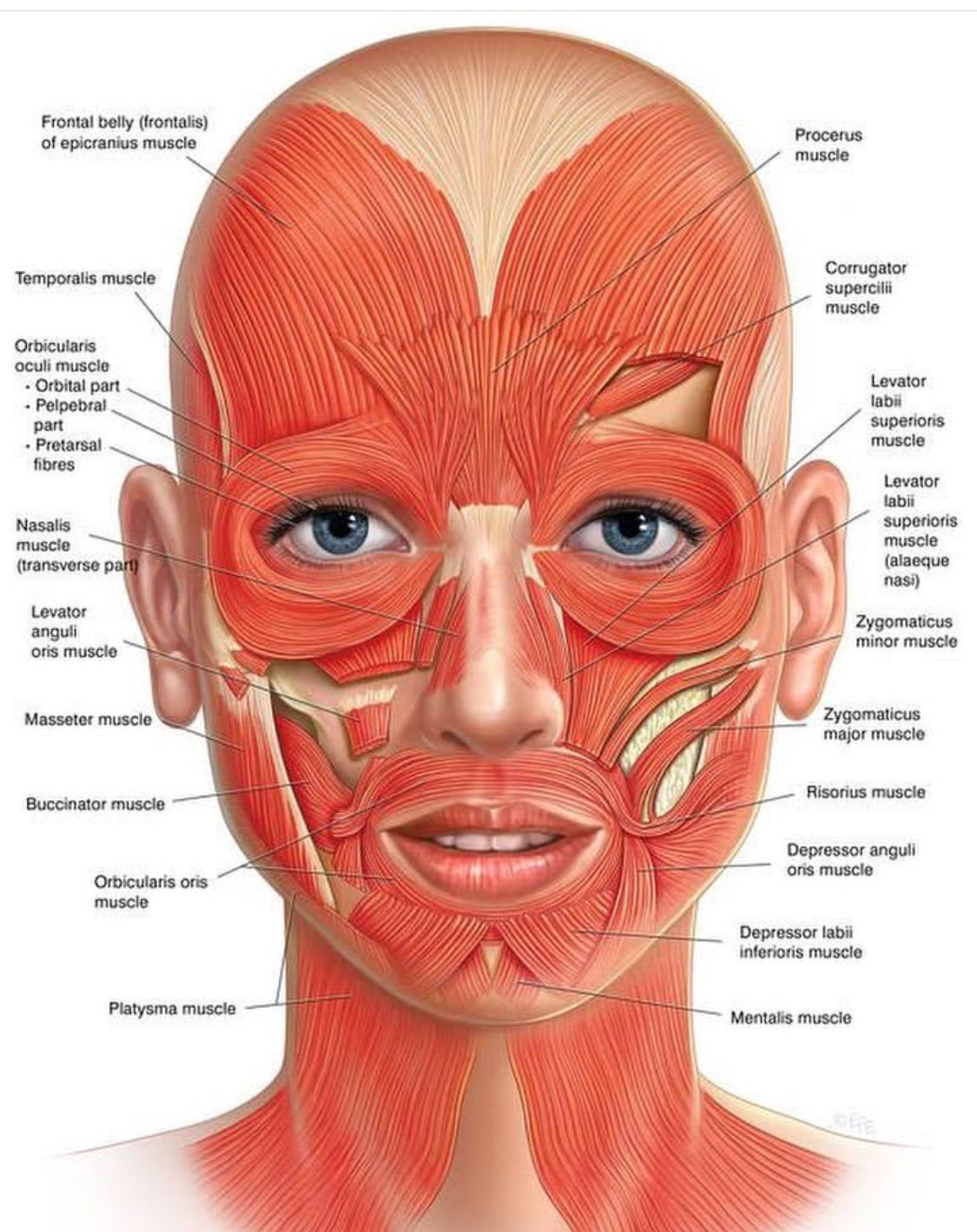 Know Your Face Do You Know That You Have 57 Muscles In Your Face Just Like Yoga Tones And Strengthens Your Body Facial Anatomy Facial Muscles Face Exercises