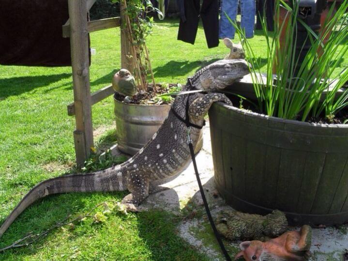 White Throat Monitor | Reptiles | Pinterest | Reptiles ...