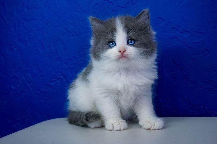 Park Art|My WordPress Blog_Ragamuffin Kittens For Sale In Ohio
