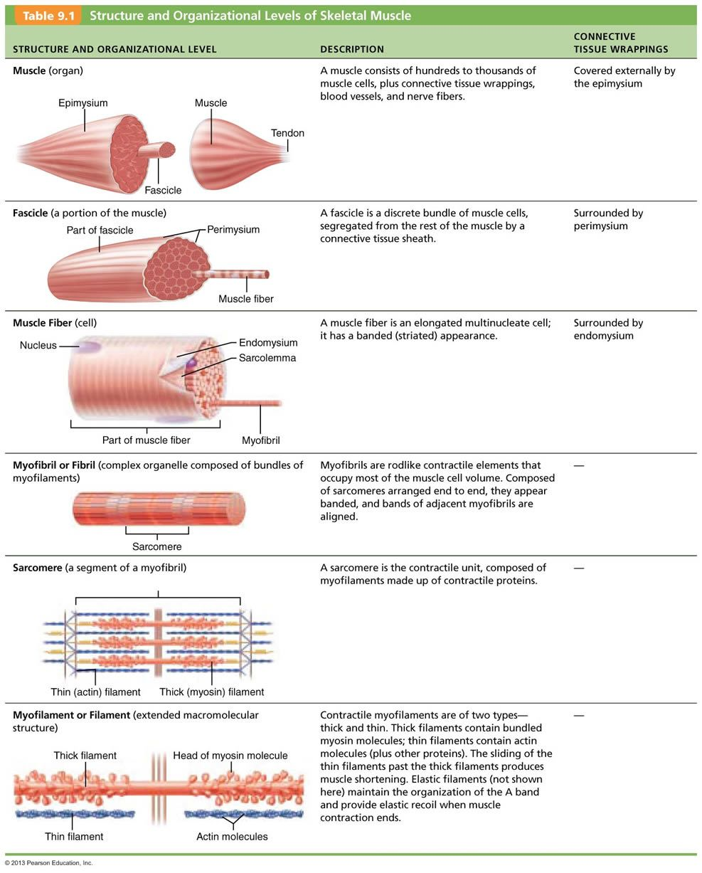 Chapter 9: Muscles and Muscles Tissue | hey | Pinterest | Muscle ...