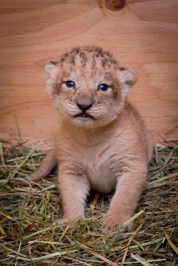 Newborn Baby Lion : newborn, Newborn, Cutest, Animals,, Animal, Lover
