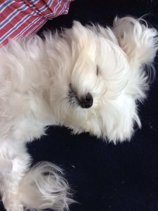 Sleepy Maltese Maltese Dogs Maltese Puppy Puppies