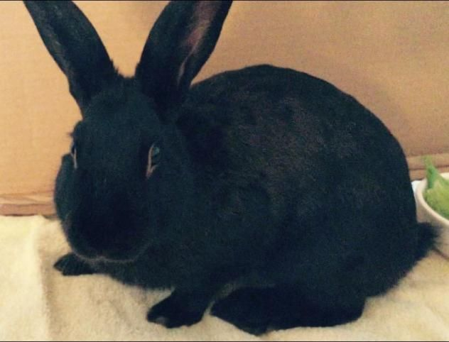 Adopt Giovanni On Petfinder Breeds All About Rabbits Adoption