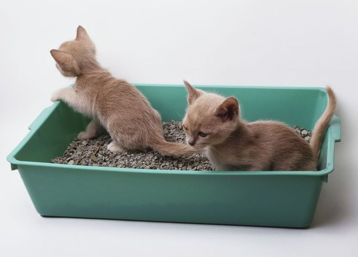 How To Train Your Kitten To Use The Litter Box Best Litter For Kittens Best Cat Litter Cat Training