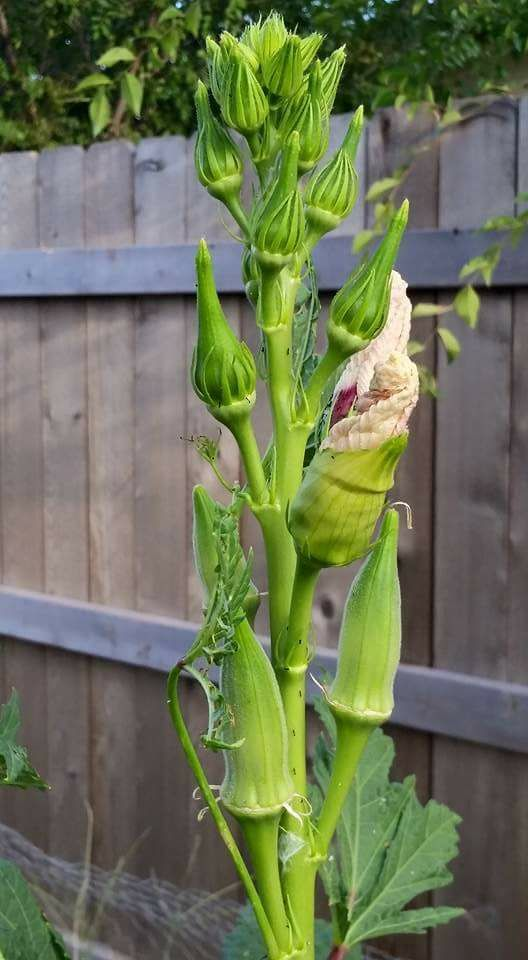 Growing Peppers In Your Vegetable Garden: How To Grow Okra And Why You'll Want To