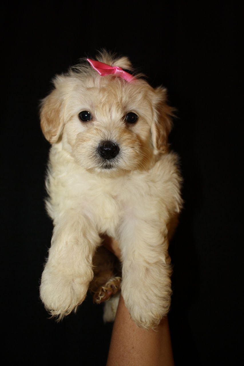 Toy Female maltipoo puppy Maltipoo puppies in va Malti-poo ...