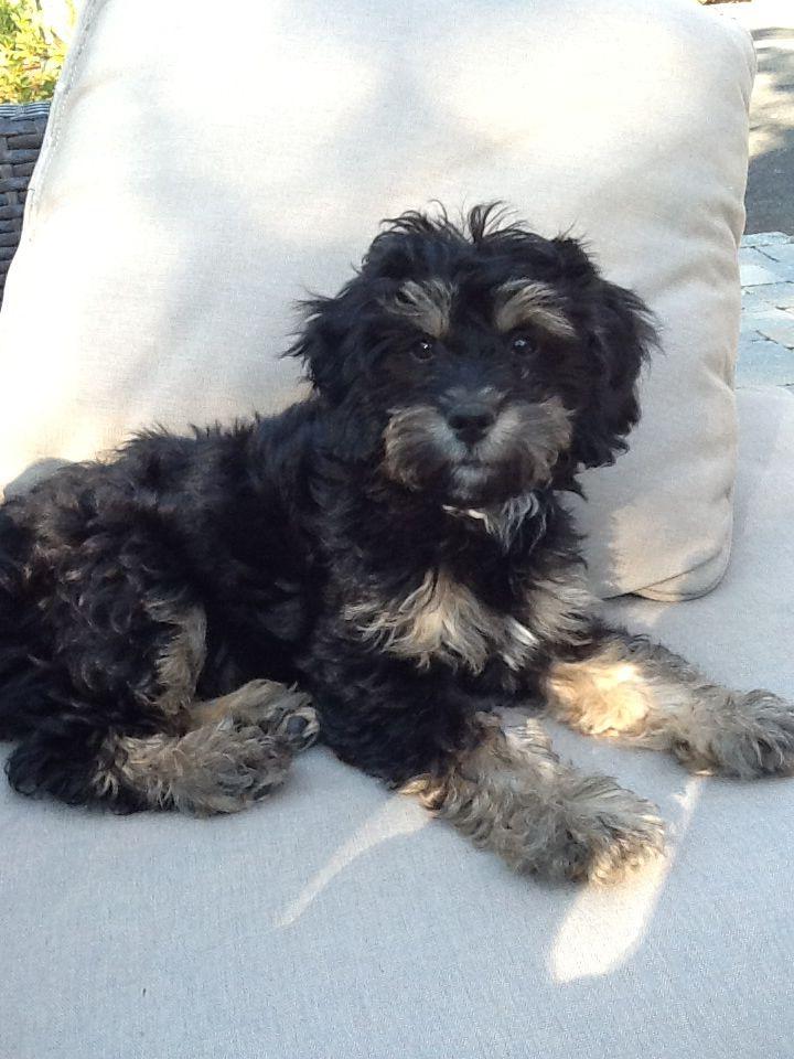 My Sweet Decker Cockapoo Puppy At 16 Weeks