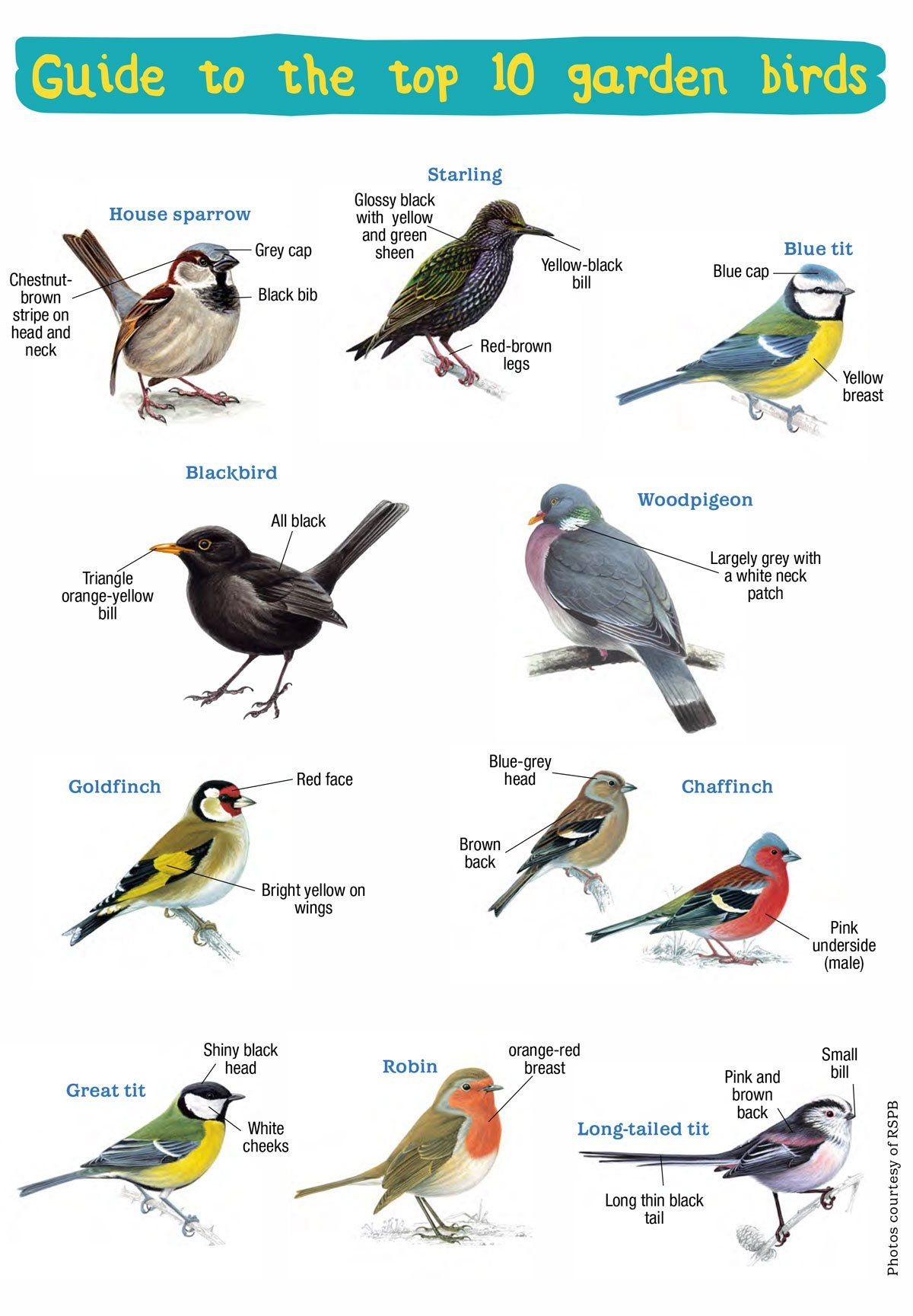 Handy Guide To The Uk S Top 10 Garden Birds