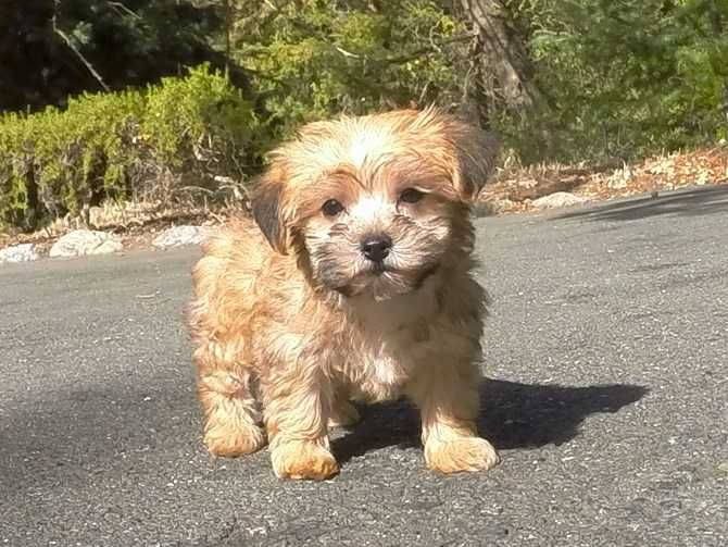Morkie Morkie Puppies Puppies Poodle Puppy