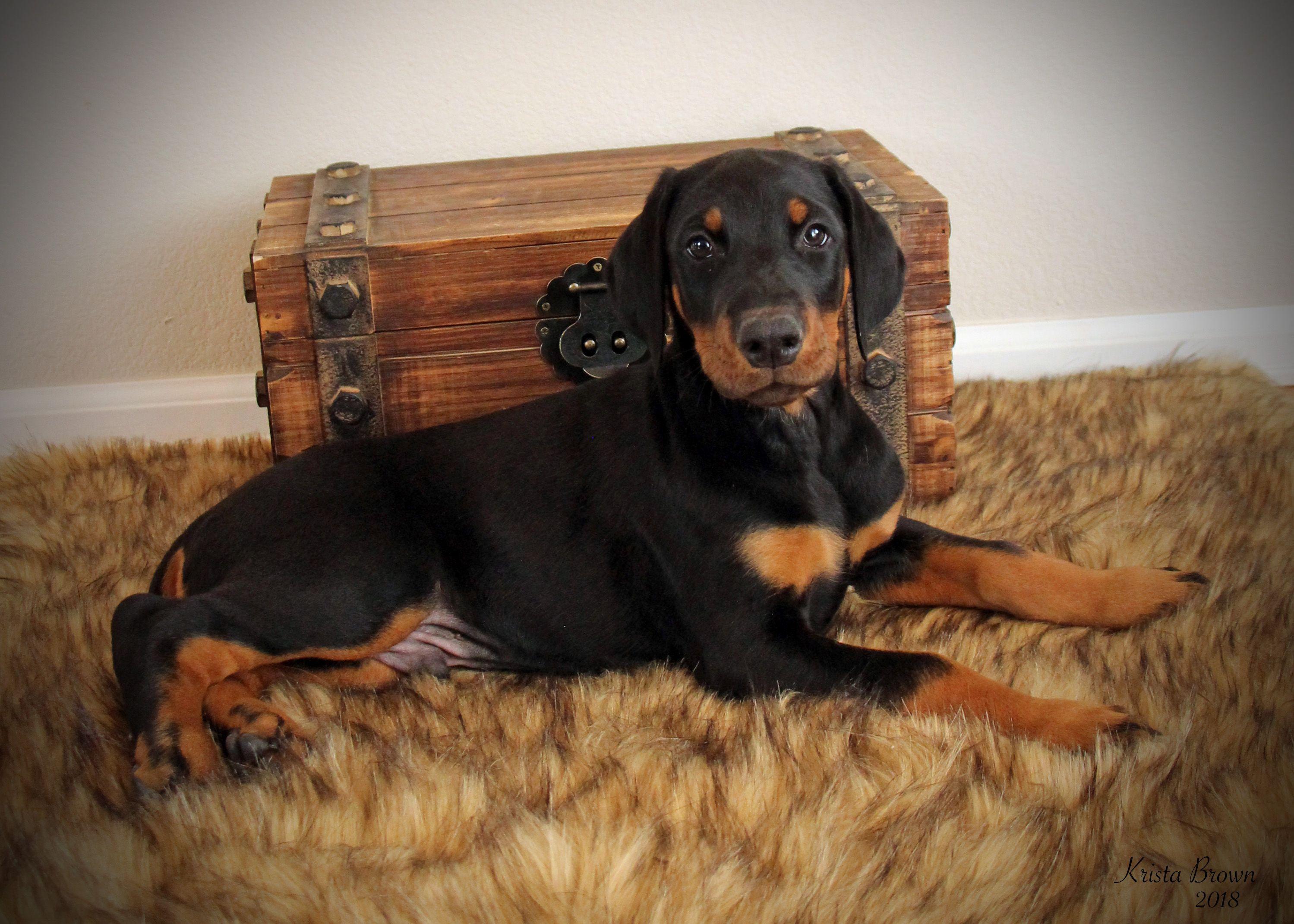 Doberman Pinscher Puppy 8 Weeks Old Dobermanpinscher Doberman