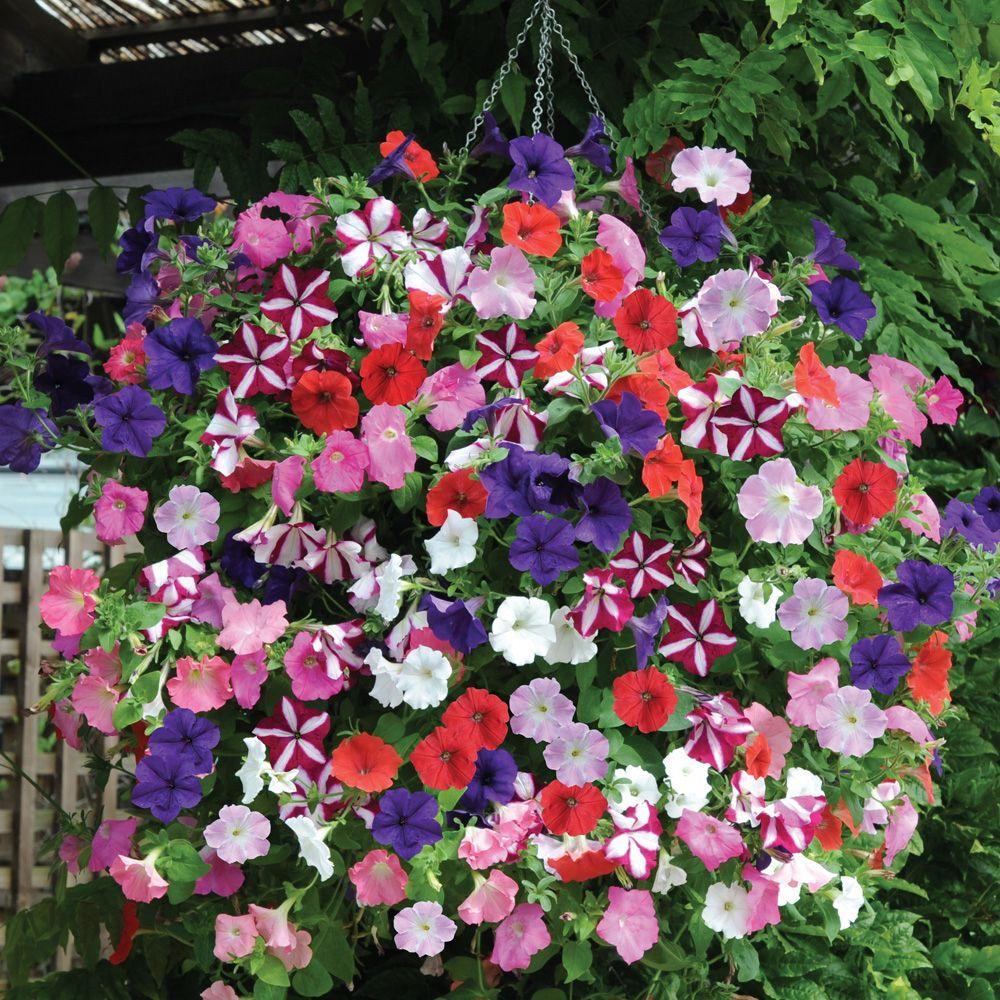 200 seeds Petunia seeds potted  Petunia flower Garden plants perennial planting