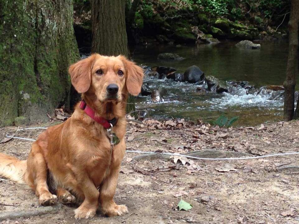 Basset Golden Mix Basset Hound Mix Golden Retriever Small Dog