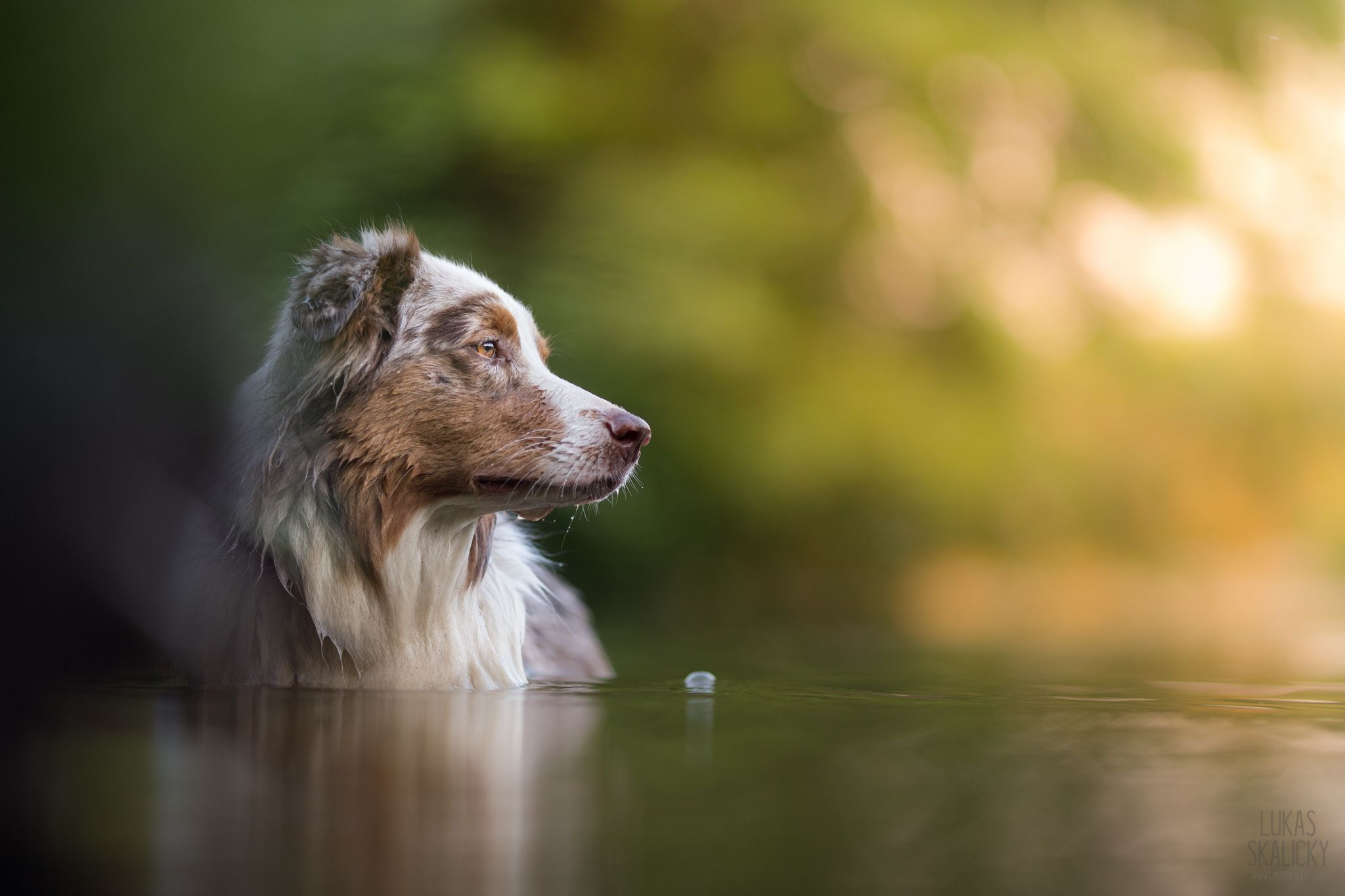 Dog Water Light By Lukas Skalicky On 500px Con Imagenes Pastor Australiano Perros Perruno