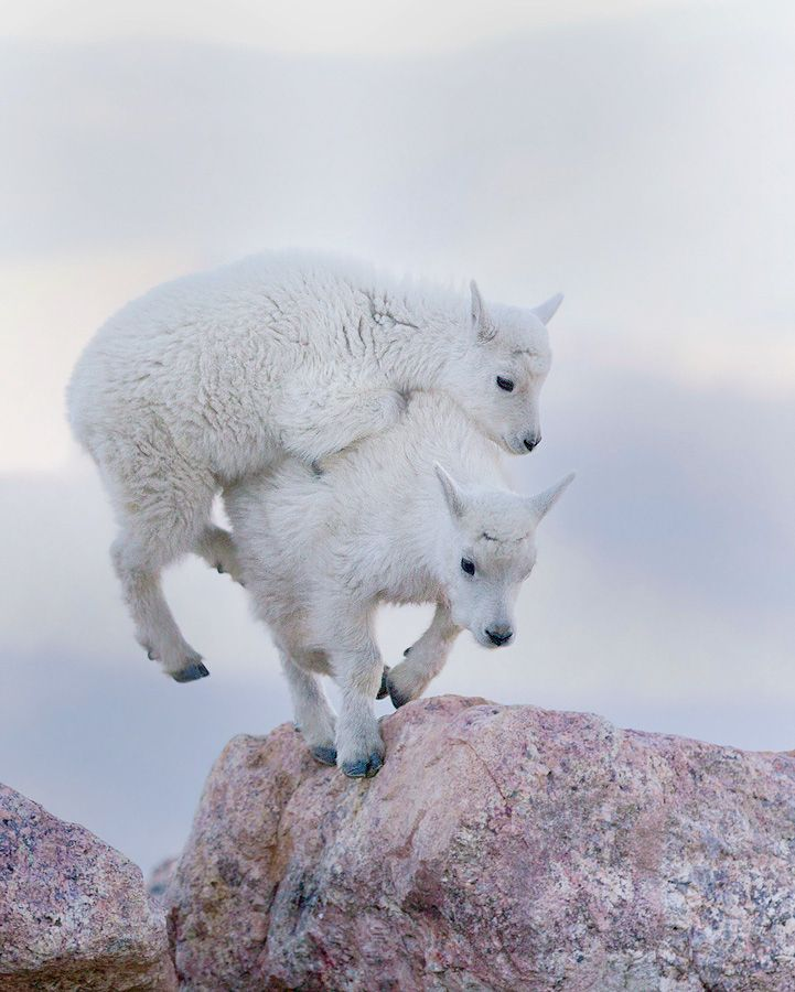 Two mountain goat kids play together on Mount Evans. Colorado, USA. Wildlife photography by Tin Man Le… | Animals, Cute animals, Goats