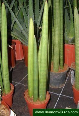 Sansevieria cylindrica sansevieria spaghetti pflanzen pflanzen sukkulenten und kaktus - Robuste zimmerpflanze ...