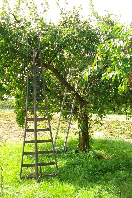 Oude Fruitbomen Appels oogsten